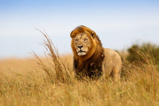 Beautiful Lion Caesar in the golden grass of Masai Mara 486237421