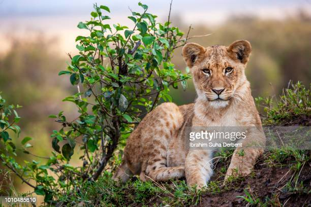 a beautiful lion cub lying on a hill and looking to camera - lion cub stock photos and pictures