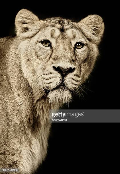 beautiful lioness - lioness stock pictures, royalty-free photos & images