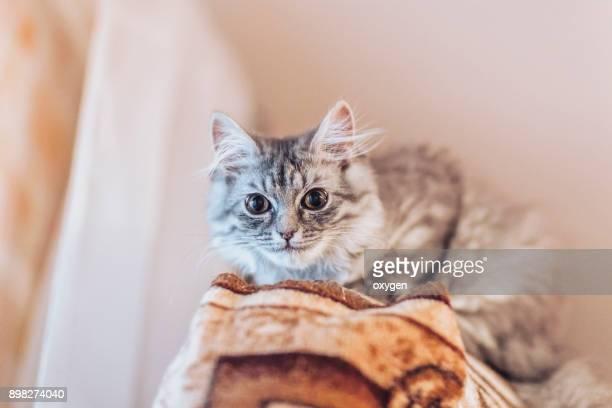 Beautiful little gray cat looks down