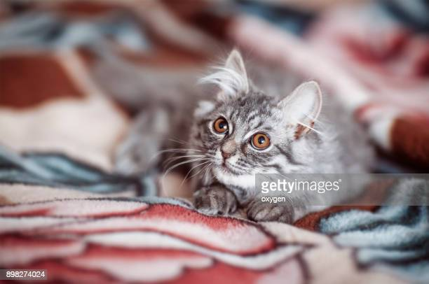 Beautiful little gray cat on a colored plaid