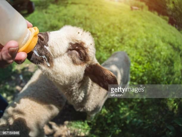 Beautiful little lamb drinking milk.