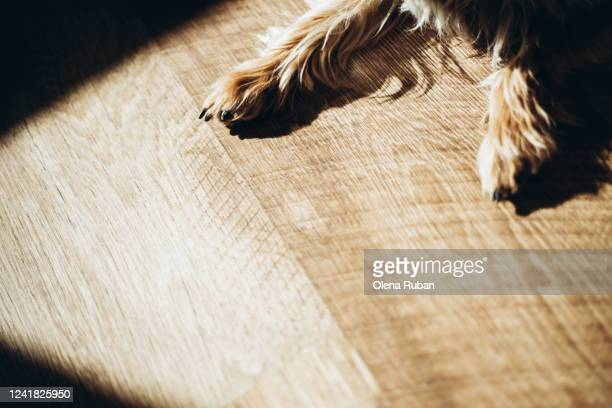 beautiful little paws of the yorkshire terrier in the sun - sun stock pictures, royalty-free photos & images