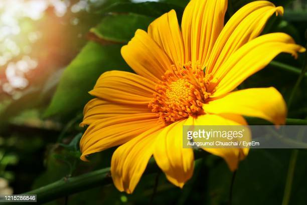 beautiful little yellow flower, tree marigold or mexican sunflower, with green leaves and sunlight. - aungsumol stock pictures, royalty-free photos & images