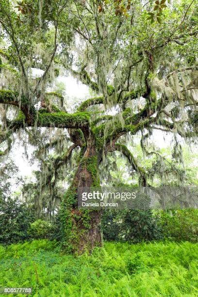 beautiful live oak tree - live oak tree stock pictures, royalty-free photos & images