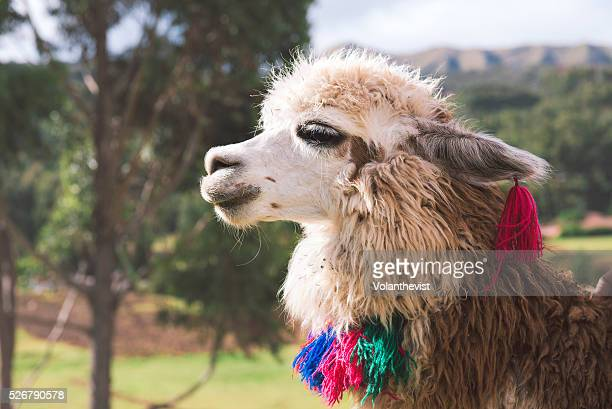 Beautiful llama with colored necklace and earrings