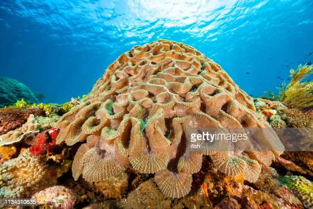 schöne lobed brain koral lobophyllia sp., pantar strait, indonesien - aquatisches lebewesen stock-fotos und bilder