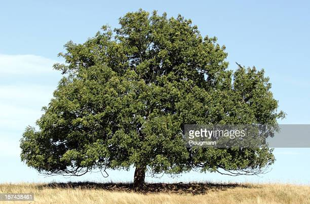 beautiful lonely ash tree on field - ash stock pictures, royalty-free photos & images