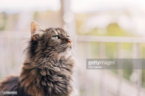 beautiful long hair cat in a balcony - cris cantón photography fotografías e imágenes de stock