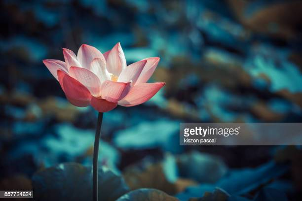beautiful lotus flower ( waterlily ) in pond - ninfea foto e immagini stock