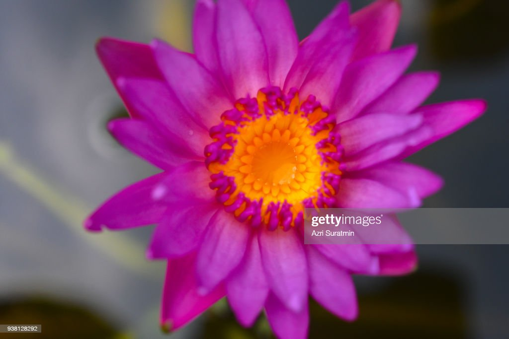 beautiful lotus flowers or waterlily in pond : Stock Photo