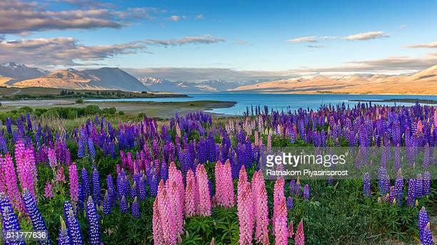 beautiful lupines field over lake tekapo - lago tekapo fotografías e imágenes de stock