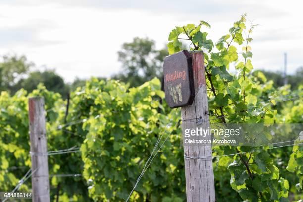 beautiful lush green vineyard on a sunny summer day. - istock stock-fotos und bilder