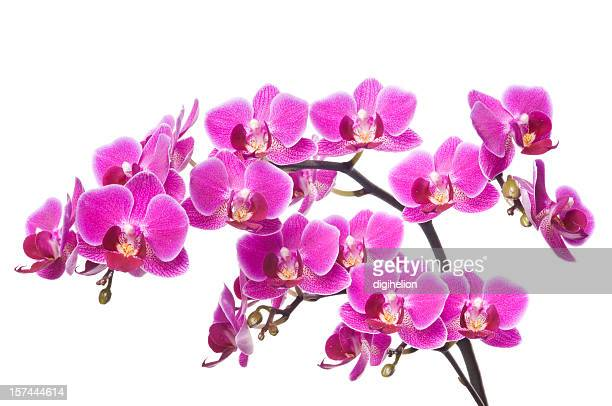 Beautiful luxury orchid on white background