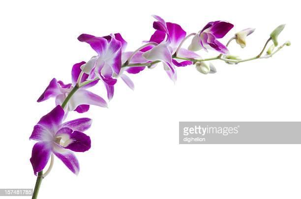 Beautiful luxury purple dendrobium orchids on white