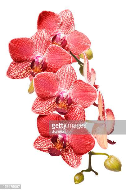 Beautiful luxury red orchid on white