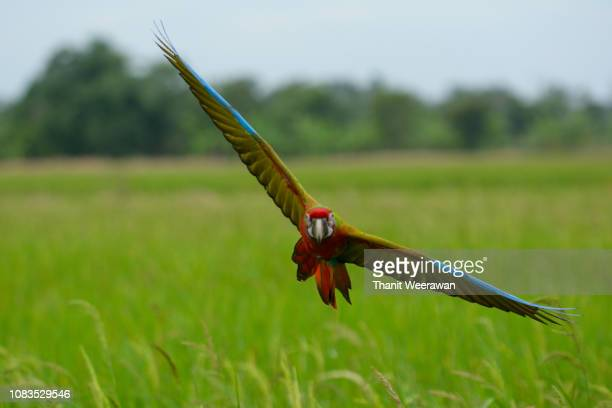 Beautiful Macaw bird flying action in the field