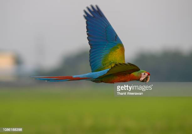 beautiful macaw bird in flying action with green field background. - パトゥムターニー県 ストックフォトと画像