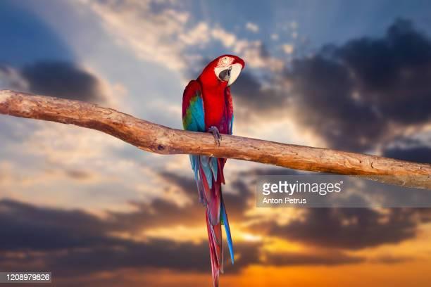 beautiful macaw parrot on sunset sky background. - パラキート ストックフォトと画像