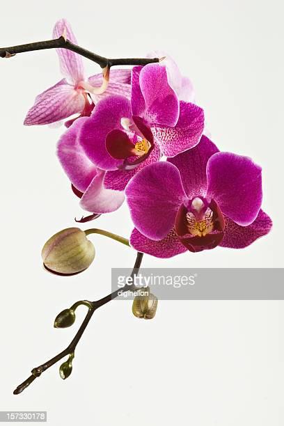 Schöne Orchidee auf weiß magenta