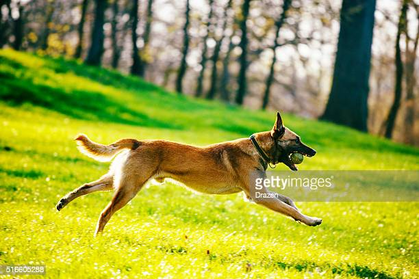 beautiful male belgian malinois - belgian shepherd - belgian malinois stock photos and pictures