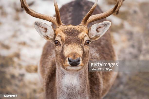 beautiful male deer in winter - white tail buck stock photos and pictures