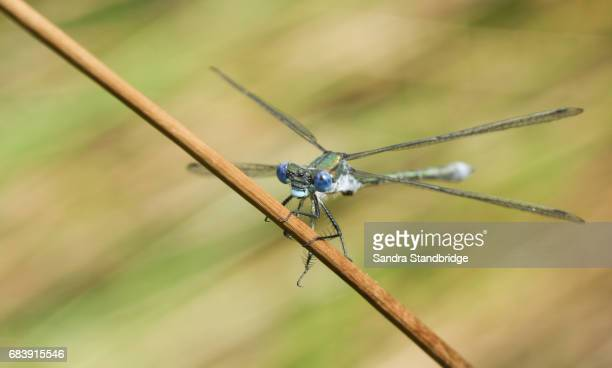 A beautiful male Emerald Damselfly (Lestes sponsa) perched on a reed.