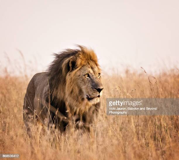 beautiful male lion in golden light in masai mara, kenya - lion stockfoto's en -beelden