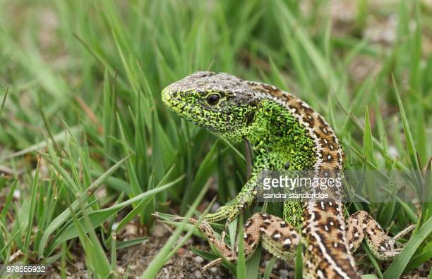 a beautiful male sand lizard (lacerta agilis) hunting in the undergrowth for food. - sand stock pictures, royalty-free photos & images