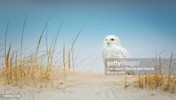 beautiful male snowy owl against blue sky at jones beach, long island - wantagh stock pictures, royalty-free photos & images