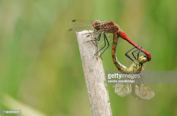 a beautiful mating pair of ruddy darter dragonfly, sympetrum sanguineum, perched on a reed at the edge of a pond. - tierpaarung stock-fotos und bilder