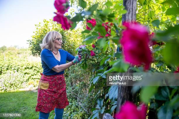la belle femme mûre taille des roses dans son jardin - jardin fleuri photos et images de collection