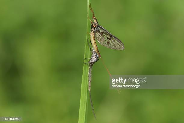 a beautiful mayfly,  ephemera vulgata, perching on a blade of grass next to its nymph casing that it has just emerged from. - mayfly stock pictures, royalty-free photos & images