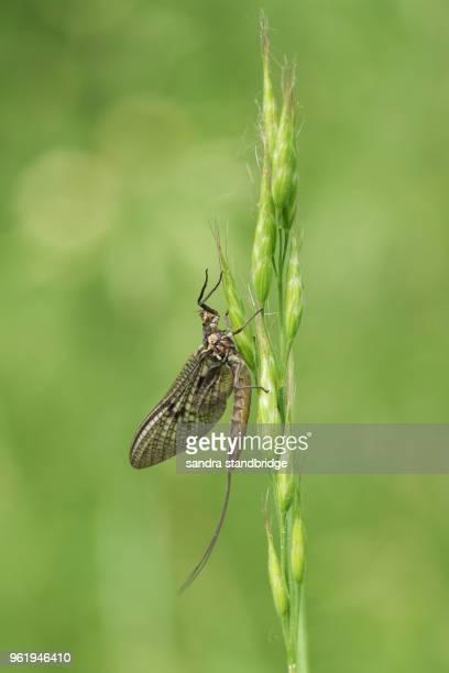 a beautiful mayfly ( ephemera vulgata) perching on grass seeds. - mayfly stock pictures, royalty-free photos & images