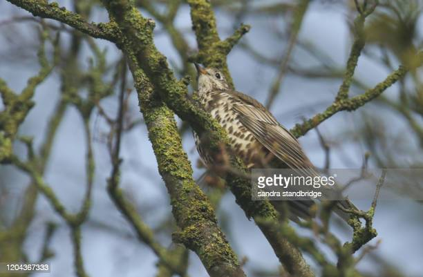 a beautiful mistle thrush (turdus viscivorus) perched on a branch in a tree. - st. albans stock pictures, royalty-free photos & images