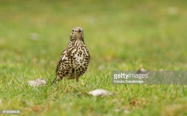 a beautiful mistle thrush (turdus viscivorus) standing on the grass. it has been hunting for earthworms. - thrush stock pictures, royalty-free photos & images