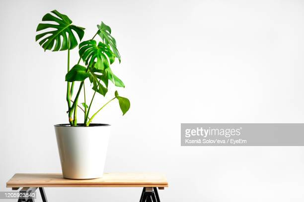 beautiful monstera flower in a white pot stands on a wooden table on a white background. - plant stock pictures, royalty-free photos & images