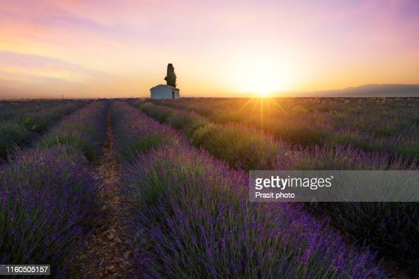 beautiful morning behind the hills and shines on the endless fields of aromatic lavender field summer sunset landscape near valensole, provence, france. - アルプドオートプロバンス県 ストックフォトと画像