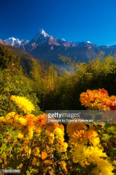 beautiful morning view of the machhapuchhre and hinchuli from tadapani village, nepal. - annapurna south stock pictures, royalty-free photos & images