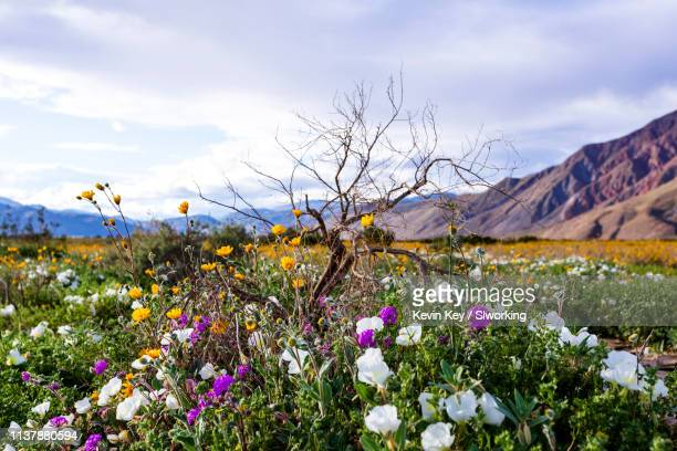 beautiful multicolor natural bouquet of desert wildflowers and a dead tree. - anza borrego desert state park stock pictures, royalty-free photos & images