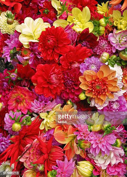 Beautiful multicolored dahlias with water drops