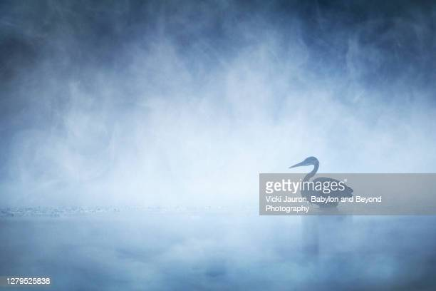 beautiful mysterious great blue heron on blue misty morning on pond in pennsylvania - かすみ ストックフォトと画像