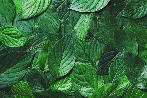 Beautiful nature background from green leaves with detailed texture. Greenery top view, closeup. 1160620218