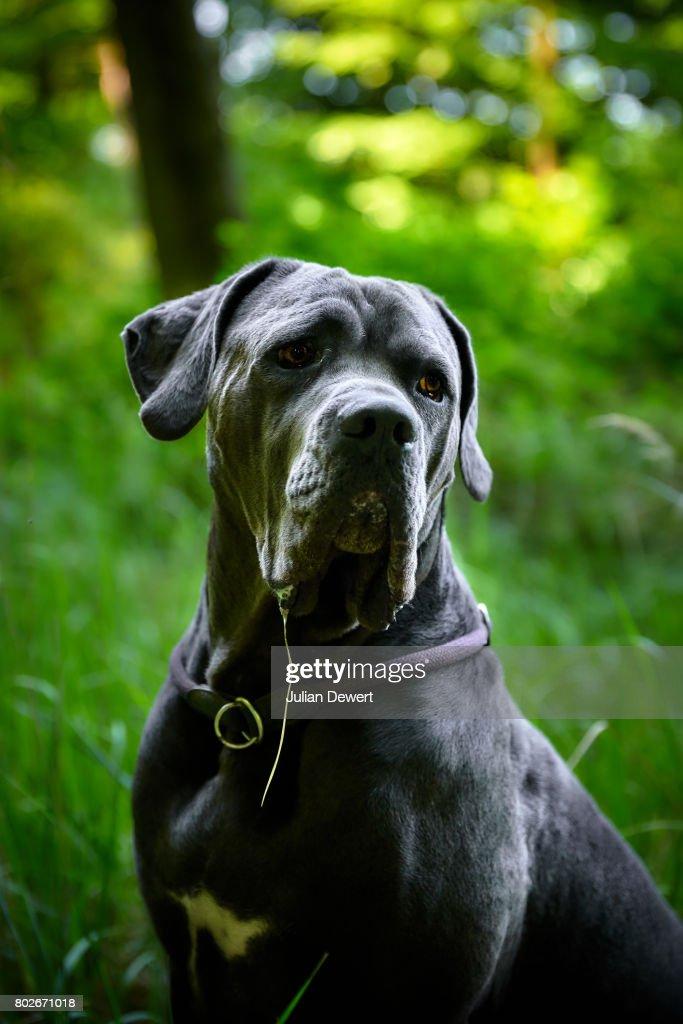 Schöne Natur Portrait Von Einem Grauen Cane Corsohund In Einem