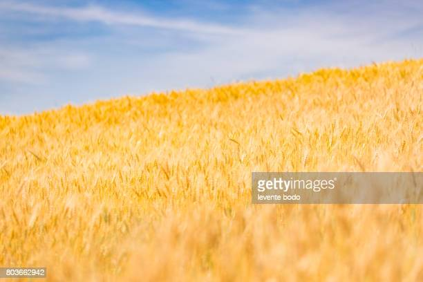 Beautiful nature sunset landscape. Ears of golden wheat close up. Rural scene under sunlight. Summer background of ripening ears of agriculture landscape.