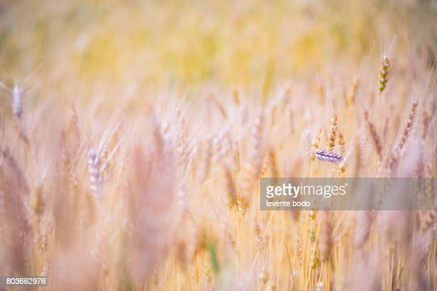 beautiful nature sunset landscape. ears of golden wheat close up. rural scene under sunlight. summer background of ripening ears of agriculture landscape. - wheatgrass stock photos and pictures