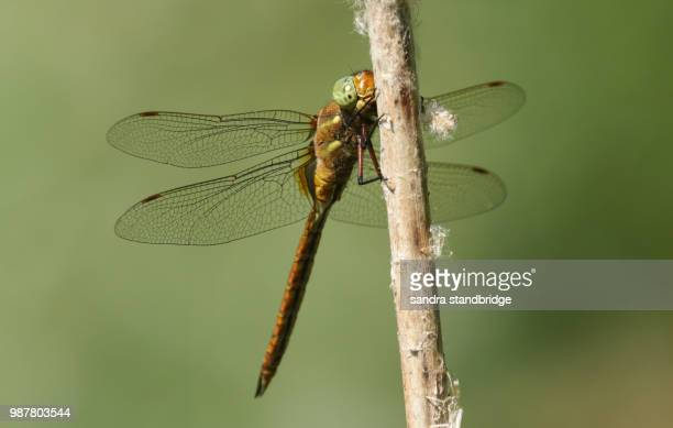 A beautiful Norfolk Hawker Dragonfly (Anaciaeschna isoceles) perching on a bulrush.