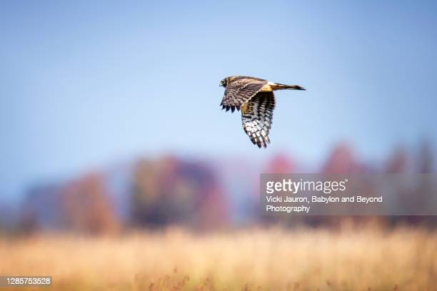 beautiful northern harrier bird in elegant flight at bombay hook - wildlife reserve stock pictures, royalty-free photos & images