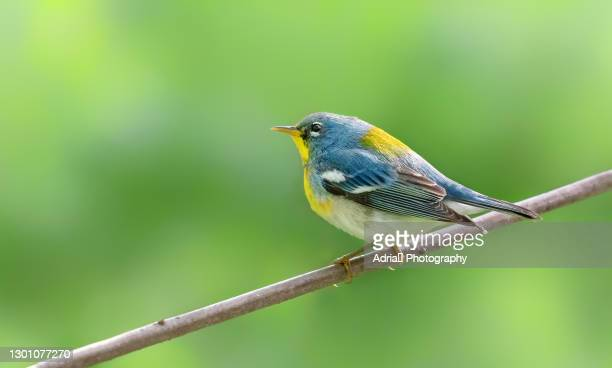 beautiful northern parula in spring - warbler stock pictures, royalty-free photos & images