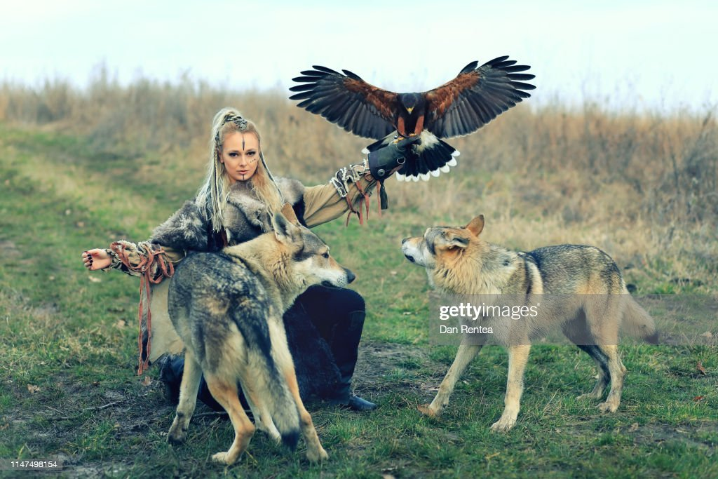 Beautiful northern viking warrior woman with braided hair and war makeup wearing traditional clothes with wild wolves and Harris Hawk (Parabuteo unicinctus), Snadinavian princess with predators in nature : Stock Photo